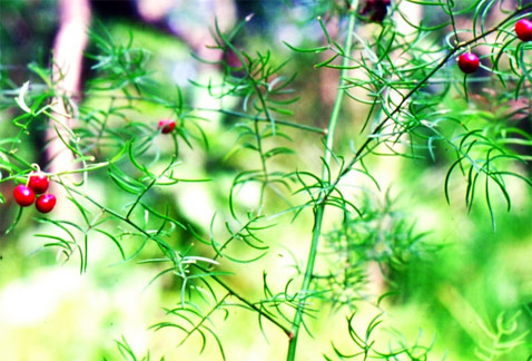Asparagus Racemosus or Shatavari