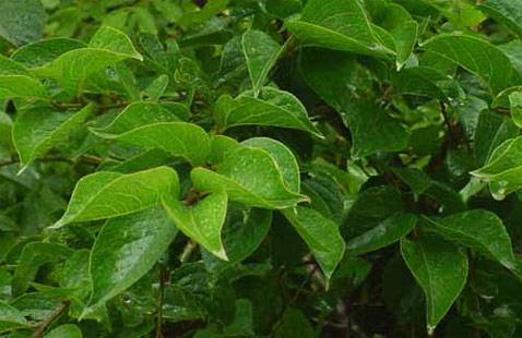 Symplocos Racemosa or Lodhra